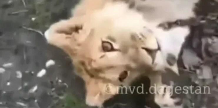 Лев гуляет по улицам в Хасавюрте