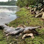 Рыба с головой крокодила: странная находка на берегу