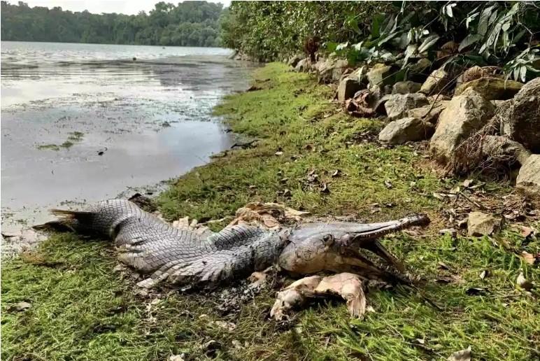 Аллигаторовая щука - рыба с головой крокодила